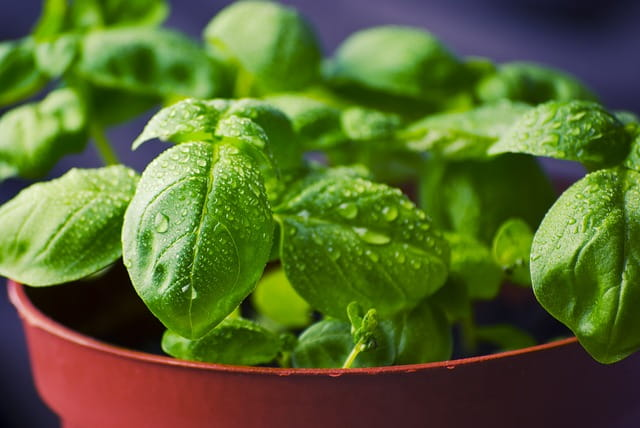 MSI Funded Paper -  Basil: A Brief Summary of Potential Health Benefits