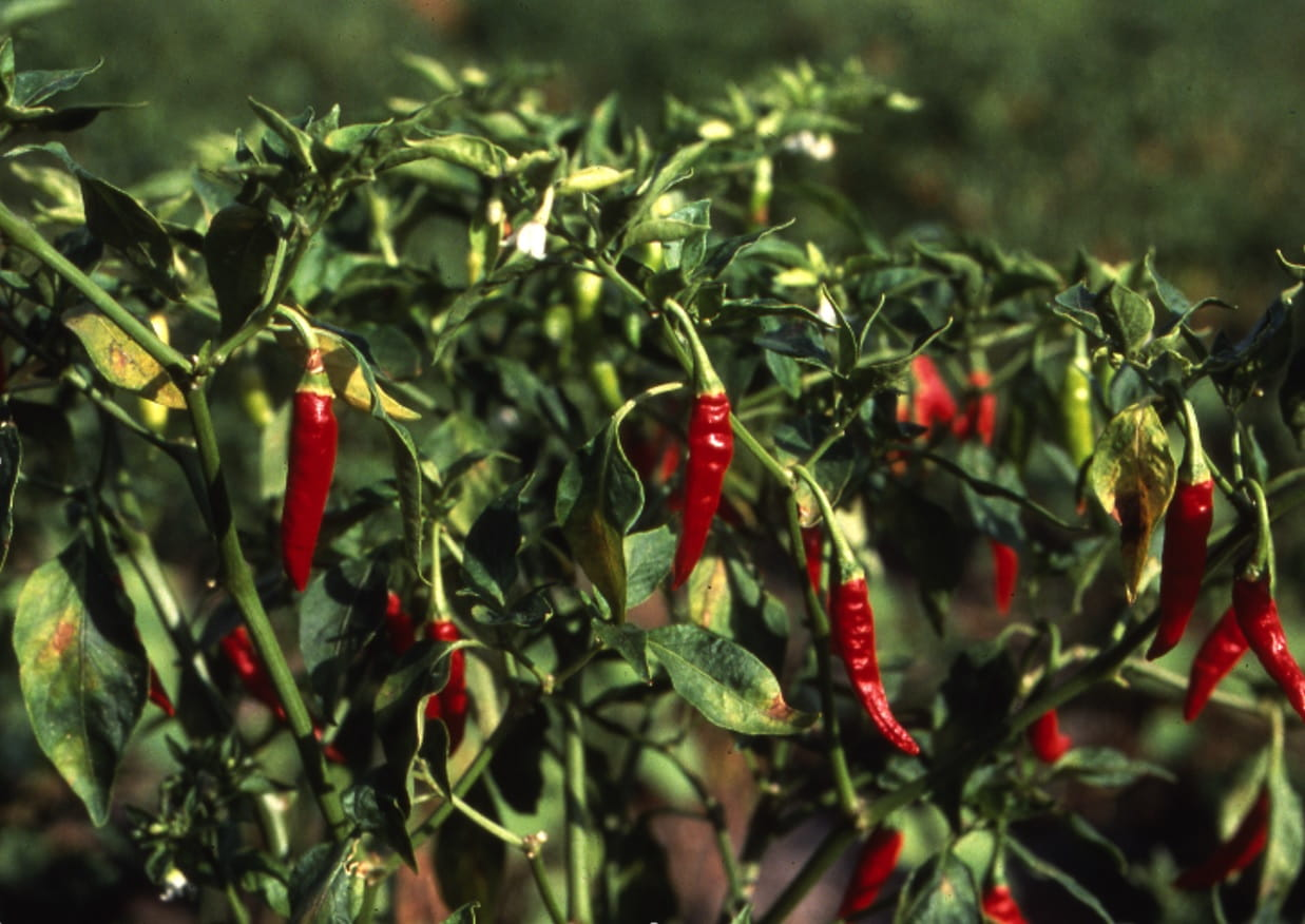 Capsaicin, Fullness & Energy Expenditure